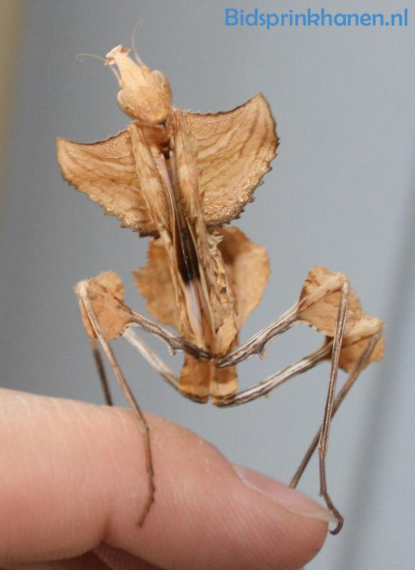 idolomantis-nimf-vrouwtje3