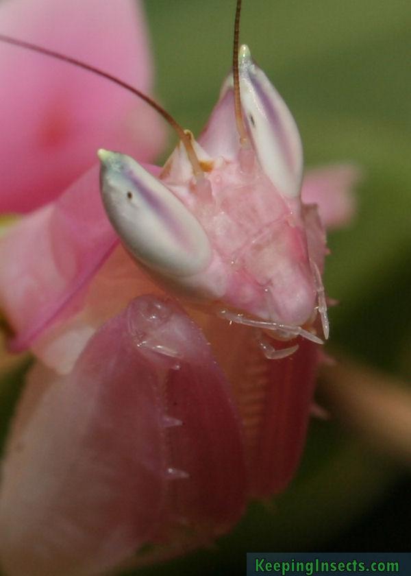 hymenopuscoronatus4