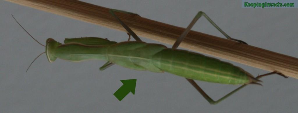 mantis-religiosa-vervelling-vleugels