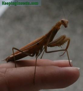 mantis-religiosa03