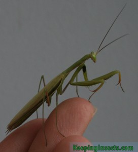 mantis-religiosa09-volwassenmannetje