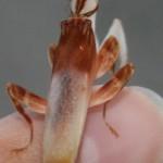 orchidee-bidsprinkhaan-volwassen-man