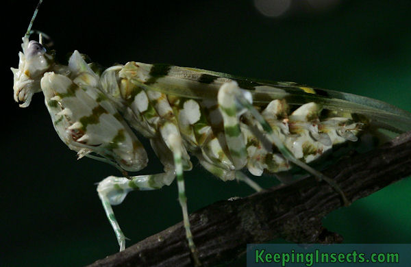pseudocreobotrawahlbergii2